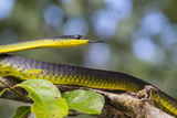 An Adult Australian Tree Snake)Dendrelaphis Punctulata) Photographic Print by Michael Nolan