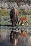 Bison (Bison Bison) Cow and Calf Photographic Print by James Hager