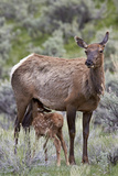Elk (Cervus Canadensis) Calf Nursing Photographic Print by James Hager