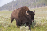 Bison (Bison Bison) Photographic Print by Richard Maschmeyer