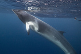 Adult Dwarf Minke Whale (Balaenoptera Acutorostrata) Underwater Near Ribbon 10 Reef Photographic Print by Michael Nolan