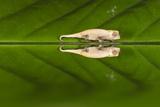 Juvenile Peyrieras' Pygmy Chameleon (Brookesia Peyrierasi) Photographic Print by G &