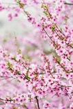 Spring Cherry Blossom Festival, Jinhei, South Korea, Asia Photographic Print by Christian Kober