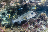 Porcupinefish (Diodon Hystrix) on House Reef at Sebayur Island Photographic Print by Michael Nolan