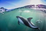 Adult Peale's Dolphin (Lagenorhynchus Australis) Photographic Print by Michael Nolan