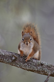 American Red Squirrel (Red Squirrel) (Spruce Squirrel) (Tamiasciurus Hudsonicus) Photographic Print by James Hager