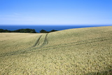 Wheat Crop Ripening by the North Sea at Osgodby, Scarborough, North Yorkshire, Yorkshire, England Photographic Print by Mark Sunderland