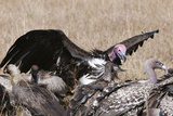 Vultures Feeding on a Carcass, Masai Mara, Kenya, East Africa, Africa Photographic Print by Sergio Pitamitz