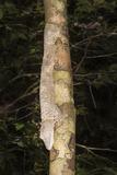 Leaf-Tailed Gecko (Uroplatus Fimbriatus), Nosy Mangabe, Maroantsera, Madagascar, Africa Photographic Print by G &
