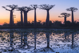 Baobab Trees (Adansonia Grandidieri) Reflecting in the Water at Sunset Photographic Print by G&M Therin-Weise