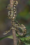 Madagascar Tree Boa (Sanzinia Madagascariensis), Madagascar, Africa Photographic Print by G &