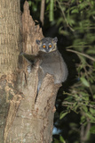 White-Footed Sportive Lemur (Lepilemur Leucopus) Photographic Print by G &