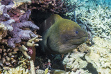 Yellowmargin Moray Eel (Gymnothorax Flavimarginatus) Photographic Print by Michael Nolan