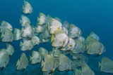 A School of Batfish (Platax Orbicularis) on Sebayur Island, Komodo Island National Park, Indonesia Photographic Print by Michael Nolan