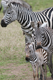 Plains Zebra (Equus Quagga), Masai Mara, Kenya, East Africa, Africa Lámina fotográfica por Sergio Pitamitz