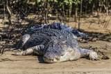An Adult Wild Saltwater Crocodile (Crocodylus Porosus) Photographic Print by Michael Nolan
