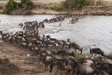 Wildebeest (Connochaetes Taurinus) Crossing the River Mara, Masai Mara, Kenya, East Africa, Africa Photographic Print by Sergio Pitamitz