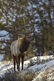 Bull Elk (Cervus Canadensis) in the Snow Photographic Print by James Hager