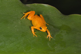 Golden Mantella (Mantella Aurantiaca), Madagascar, Africa Photographic Print by G &