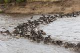 Wildebeest (Connochaetes Taurinus) Crossing the Mara River, Masai Mara, Kenya, East Africa, Africa Photographic Print by Sergio Pitamitz