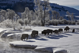 Bison (Bison Bison) Cows in the Snow with Frost-Covered Trees in the Winter Photographic Print by James Hager