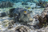 Map Puffer (Arothron Mappa) Feeding on Sponges on the House Reef on Sebayur Island Photographic Print by Michael Nolan