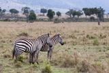 Plains Zebra (Equus Quagga), Masai Mara, Kenya, East Africa, Africa Photographic Print by Sergio Pitamitz