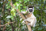 Verreaux's Sifaka (Propithecus Verreauxi) Photographic Print by G &