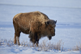 Bison (Bison Bison) in the Snow Photographic Print by James Hager