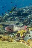 Female Bicolor Parrotfish (Cetoscarus Bicolor) Photographic Print by Michael Nolan