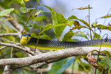 An Adult Australian Tree Snake (Dendrelaphis Punctulata) Photographic Print by Michael Nolan