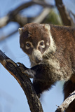 White-Nosed Coati (Nasua Narica) in a Tree Photographic Print by James Hager