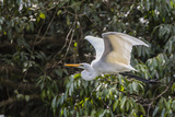 An Adult Eastern Great Egret (Ardea Alba) in Flight on the Daintree River Photographic Print by Michael Nolan