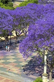 Blossoming Jacaranda Trees Photographic Print by Neil Farrin