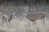 Two White-Tailed Deer (Whitetail Deer) (Virginia Deer) (Odocoileus Virginianus) Bucks Photographic Print by James Hager