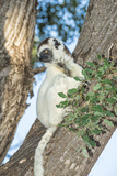 Verreaux's Sifaka (Propithecus Verreauxi) on a Tree Photographic Print by G &