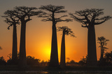 Baobab Trees (Adansonia Grandidieri) at Sunset, Morondava, Toliara Province, Madagascar, Africa Fotografisk tryk af G&M Therin-Weise