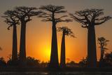 G&M Therin-Weise - Baobab Trees (Adansonia Grandidieri) at Sunset, Morondava, Toliara Province, Madagascar, Africa Fotografická reprodukce