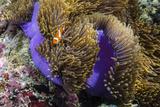 False Clown Anemonefish (Amphiprion Ocellaris) Photographic Print by Michael Nolan