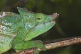 Parson's Chameleon (Calumma Parsonii), Andasibe-Mantadia National Park, Madagascar, Africa Photographic Print by G &
