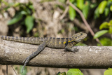 An Adult Eastern Water Dragon (Intellagama Lesueurii Lesueurii) Photographic Print by Michael Nolan