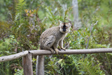 Red-Fronted Brown Lemur (Eulemur Rufus), Andasibe-Mantadia National Park, Madagascar, Africa Photographic Print by G &