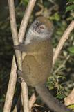 Eastern Lesser Bamboo Lemur (Hapalemur Griseus) Fotografisk tryk af G &