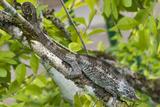Elephant-Eared Chameleon (Short-Horned Chameleon) (Calumma Brevicornis), Madagascar, Africa Photographic Print by G &