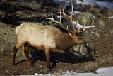 Bull Elk (Cervus Canadensis) Photographic Print by James Hager