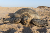 Green Turtle, Ras Al Jinz, Oman. Photographic Print by Sergio Pitamitz