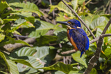 An Adult Azure Kingfisher (Alcedo Azurea) on the Daintree River Photographic Print by Michael Nolan