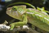 Globe-Horned Chameleon (Flat-Casqued Chameleon) (Calumma Globifer), Endemic, Madagascar, Africa Photographic Print by G &