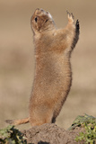 Black-Tailed Prairie Dog (Blacktail Prairie Dog) (Cynomys Ludovicianus) Calling Photographic Print by James Hager