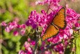 Queen Butterfly (Danaus Gilippus) on Queen's Wreath (Antigonon Leptopus) Photographic Print by Michael Nolan